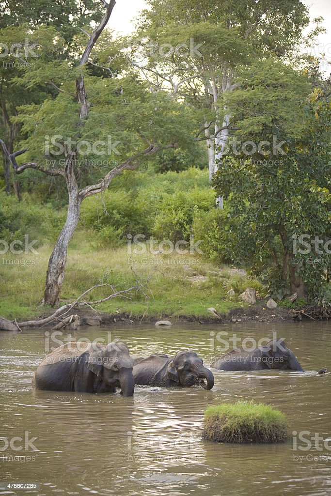 Wild Indian Elephants bathing stock photo