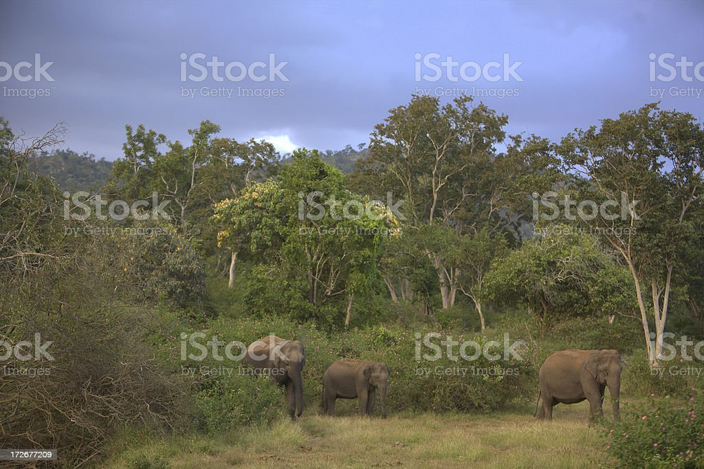 Wild Indian Elephants stock photo