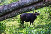 Wild Indian Gaur or bufflalo grazing in Periyar national park, Kerala, India.