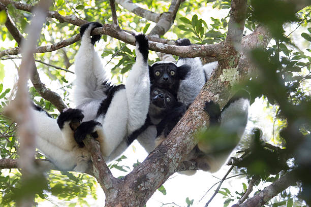 Eating leaves and vocalizing, a critically endangered black and white wild indri lemur perches in the rainforest canopy in Mantidia - Andasibe National Park, Madagascar.