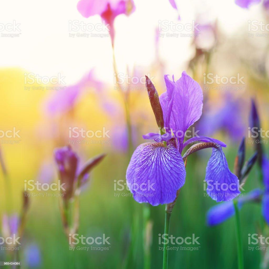 Wild Iris blooming zbiór zdjęć royalty-free