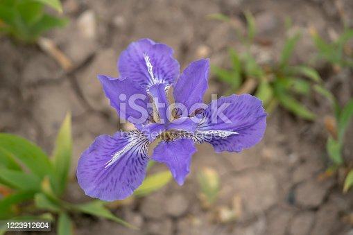 wild Iris flowers and weeds