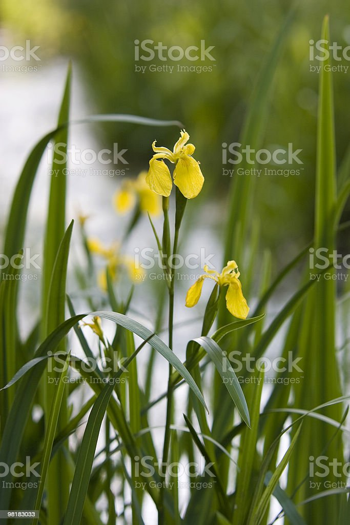 wild iris of water royalty-free stock photo