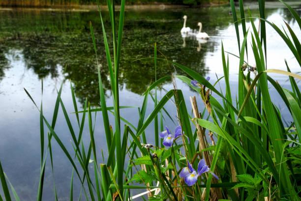 wild iris on the park stock photo