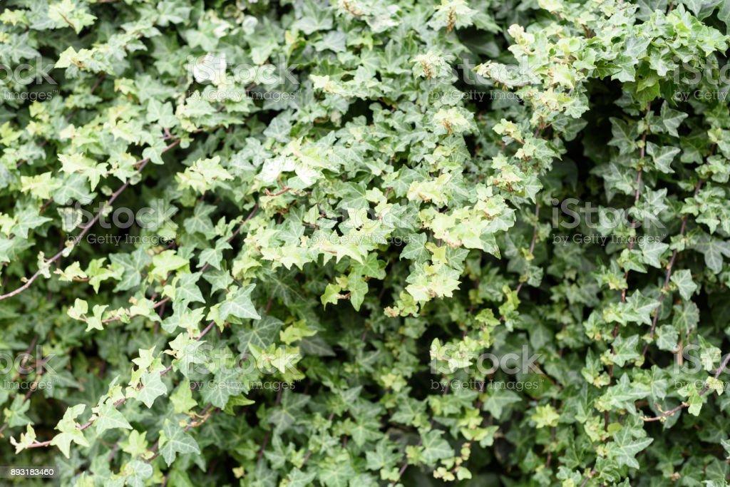 Wild Ivy Nature Background stock photo