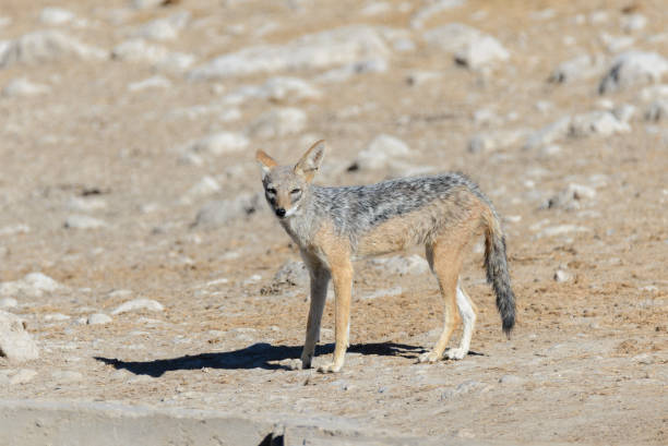 Wild jackal on waterhole in the African savanna stock photo