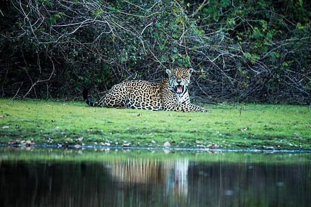 Wild Jaguar in Pantanal Brazil Wild Jaguar in Pantanal Brazil is resting at a river bank jaguar cat stock pictures, royalty-free photos & images