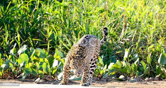 istock Wild  jaguar, Panthera onca,  ready to attack 498880400