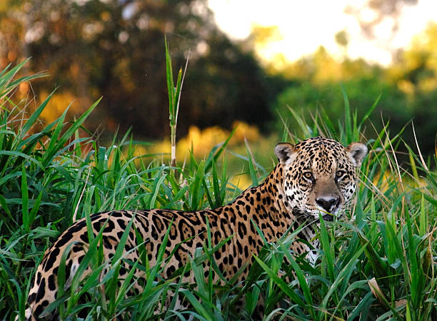 Wild Jaguar An extremely rare photograph of a large male Jaguar (panthera onca) in the wild in South America. They are notoriously difficult to find and are normally very elusive. jaguar cat stock pictures, royalty-free photos & images