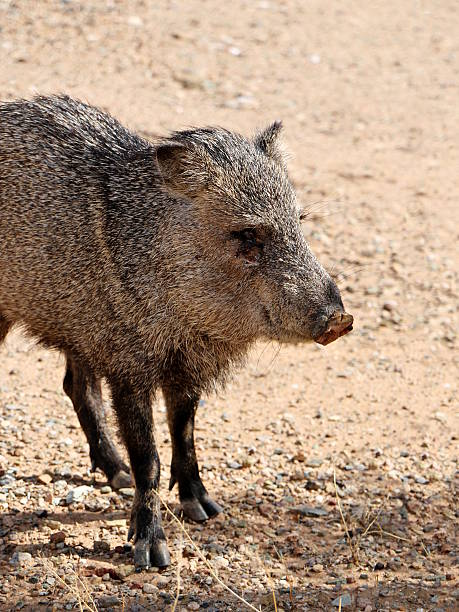 wild javalina in the sonoran desert - javelina stock pictures, royalty-free photos & images