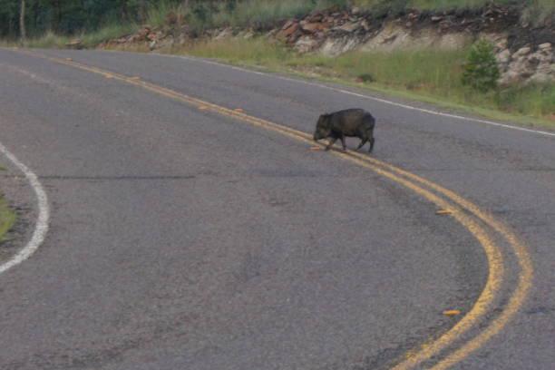 wilde javalina in west-texas - ebersberg stock-fotos und bilder