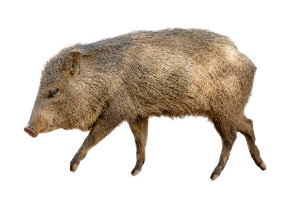 Wild Javelina Pig Isolated on White Collared Peccary, also known as a wild javelina pig walking to side over white background javelina stock pictures, royalty-free photos & images
