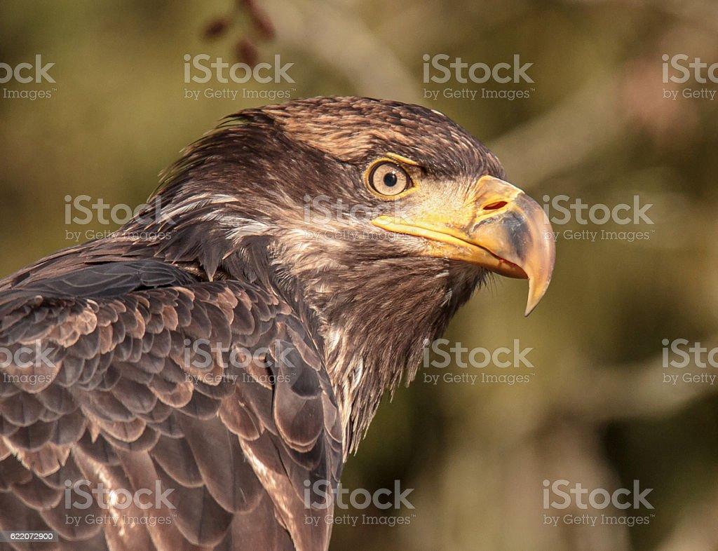 Wild Juvenile Bald Eagle Head And Shoulders stock photo
