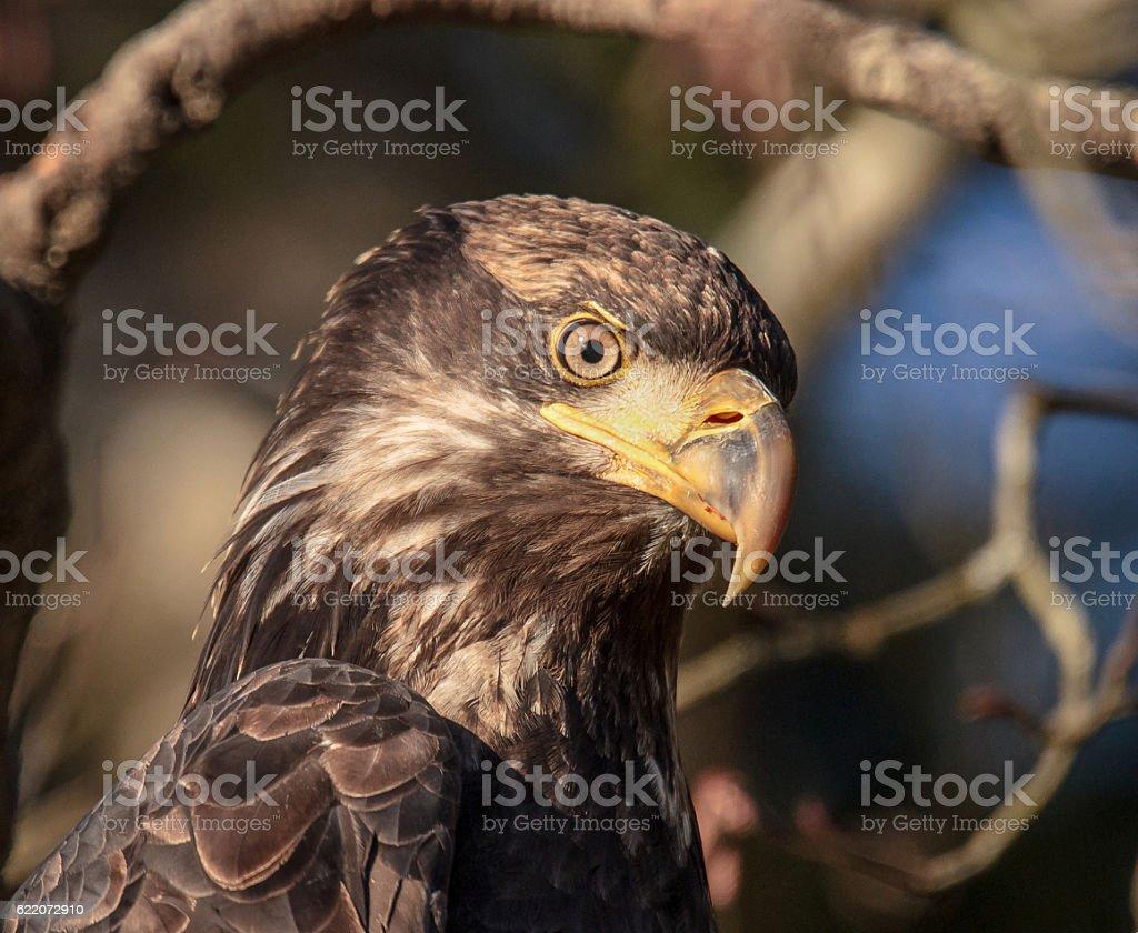Wild Juvenile Bald Eagle stock photo