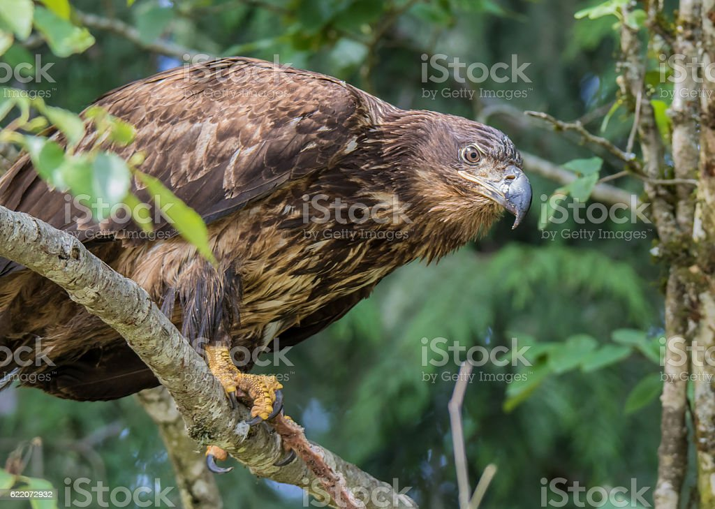 Wild Juvenile Bald Eagle Showing Talons stock photo