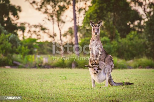 Beautiful wild brown kangaroo stood in a field in New South Wales with her joey in her pouch