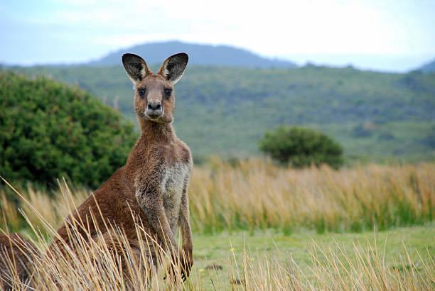 wild kangourou dans l'outback - kangourou photos et images de collection