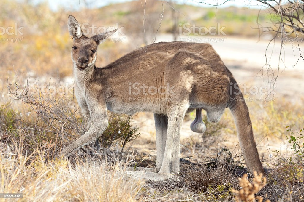 Wild kangaroo. royalty-free stock photo