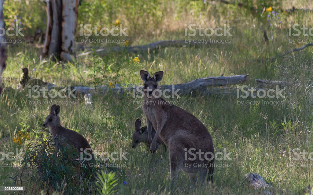 Wild Kangaroos stock photo