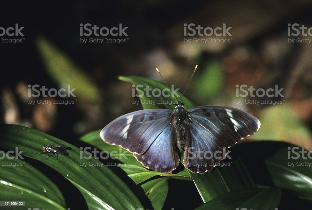 Wild Kibale Forest butterfly Uganda copy space royalty-free stock photo