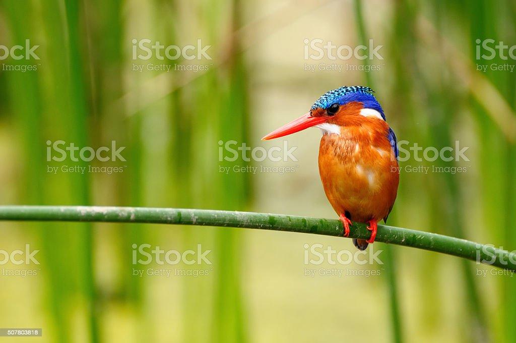 Wild Kingfisher in Africa stock photo