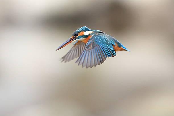 wild kingfisher - martin pêcheur photos et images de collection