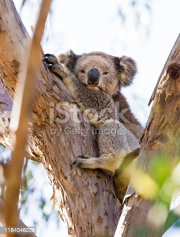 This photograph of koala in the wild was taken midday with full frame camera and Zeiss telephoto lens.