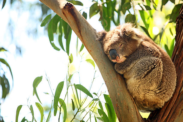 Wild Koala Sleeping On Eucaliptus Tree in Australia stock photo