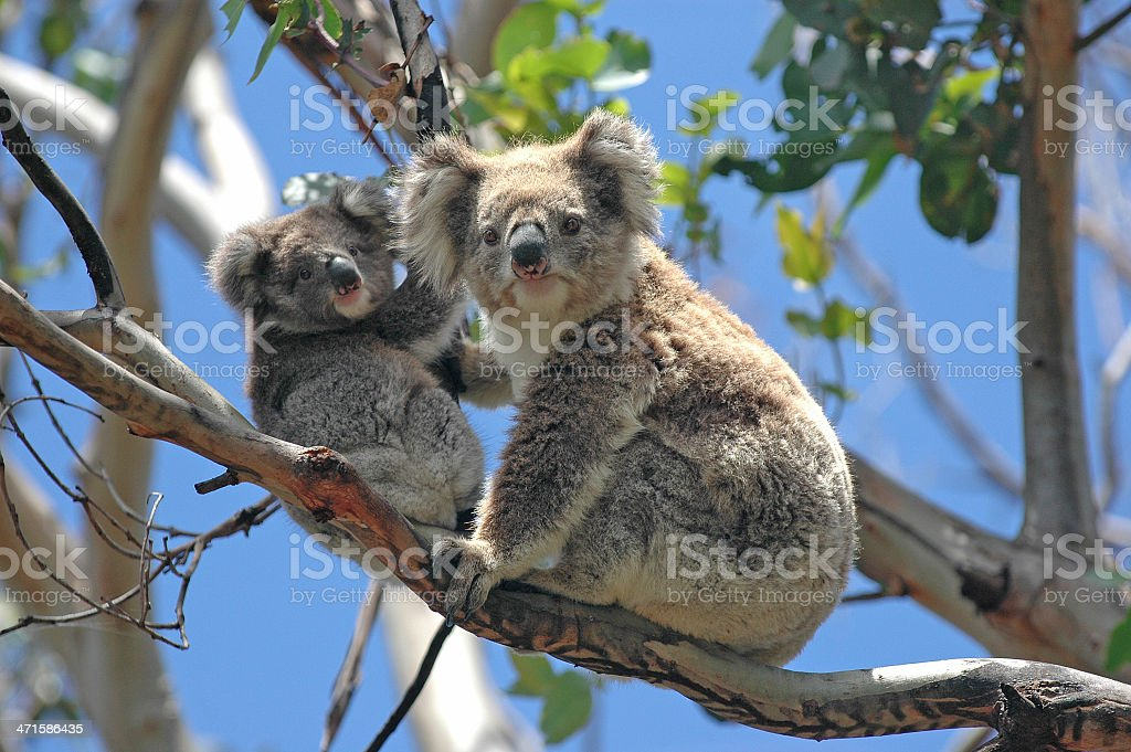 Wild Koalas along Great Ocean Road, Victoria, Australia stock photo
