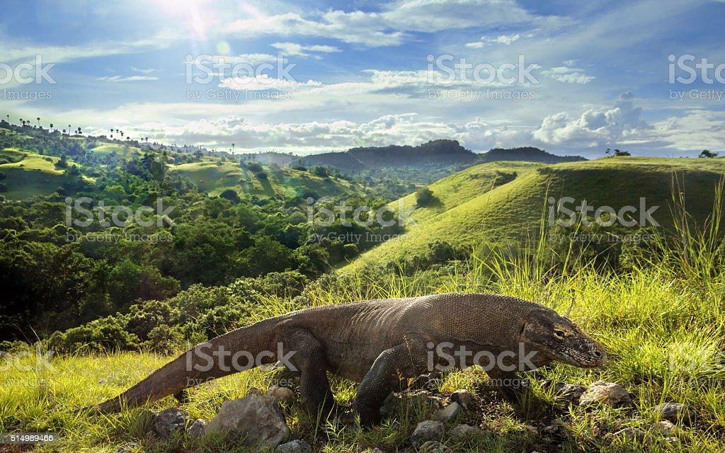 Wild Komodo Dragon in its habitat stock photo