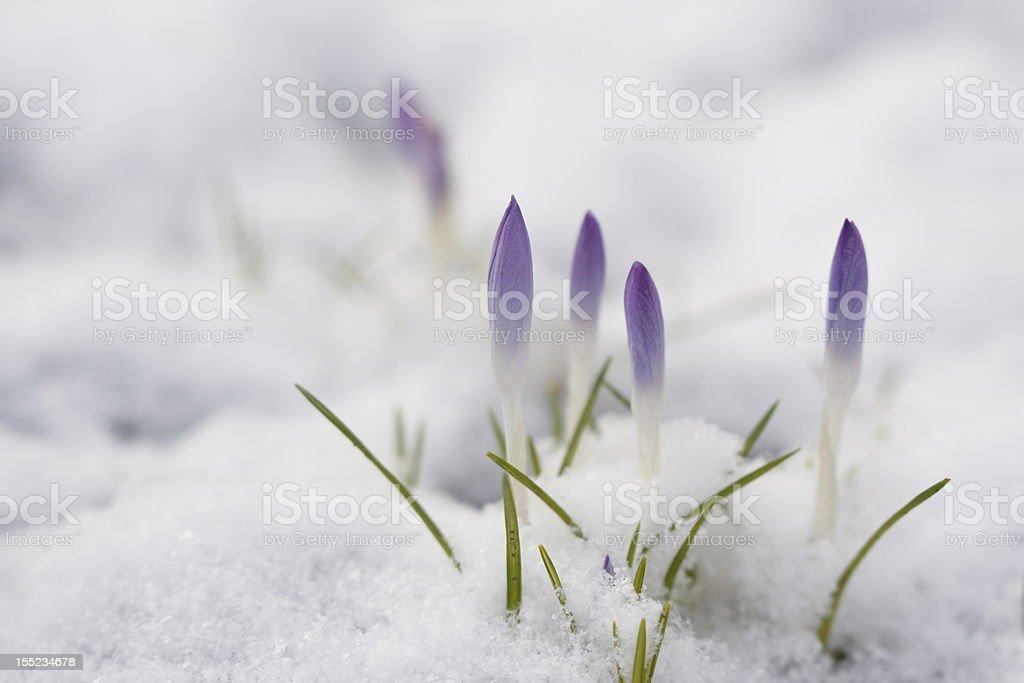 Wild Krokus im Frühling stock photo