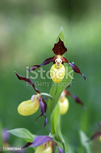 istock Wild Lady's Slipper (Cypripedium calceolus) flower in a nature reserve forest 1126950944