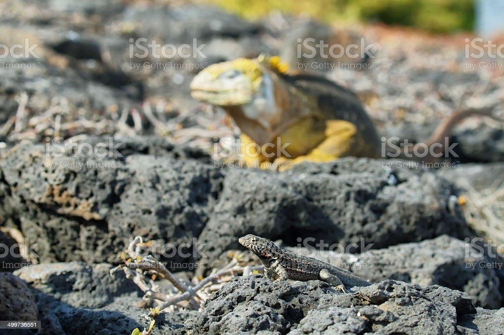Wild land iguana royalty-free stock photo