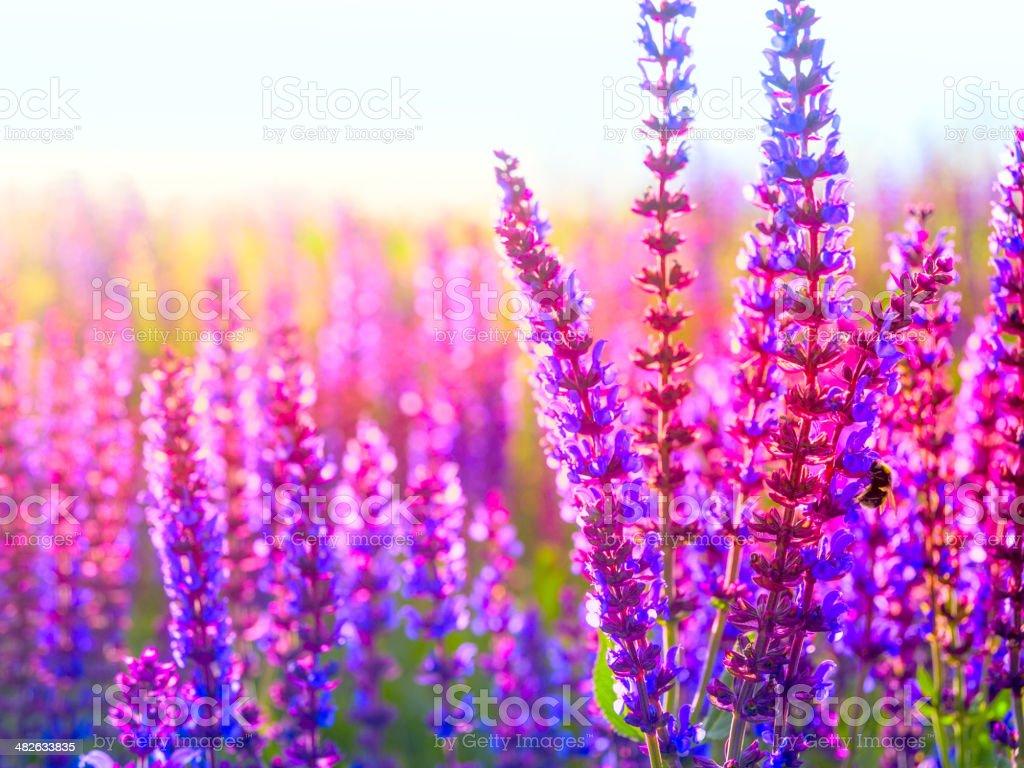 Wild Lavender in bloom stock photo