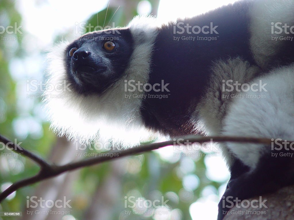 Wild Lemur from Madagascar royalty-free stock photo