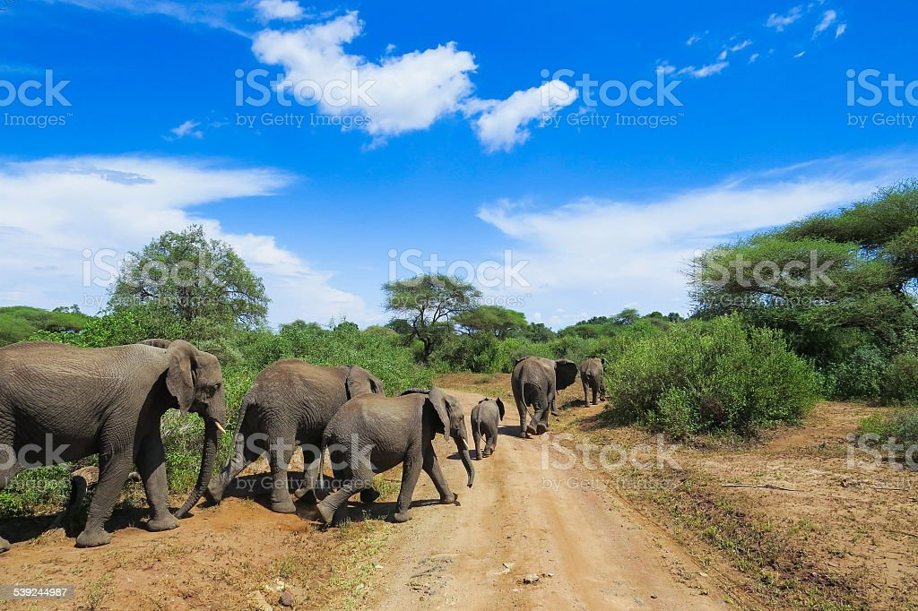 Wild life in Africa...elephants in Lake Manyara national park royalty-free stock photo