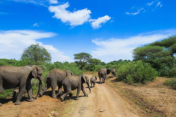 Wild life in Africa...elephants in Lake Manyara national park stock photo