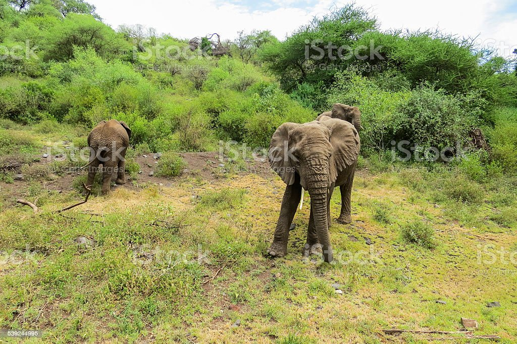 Africa.elephants em vida selvagem no Parque Nacional do Lago Manyara foto royalty-free