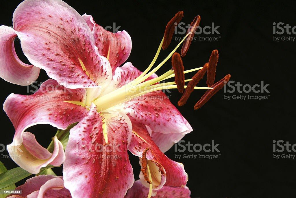Wild Lily royalty-free stock photo
