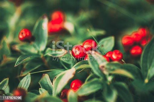 Wild growing lingon berries closeup, Norway nature