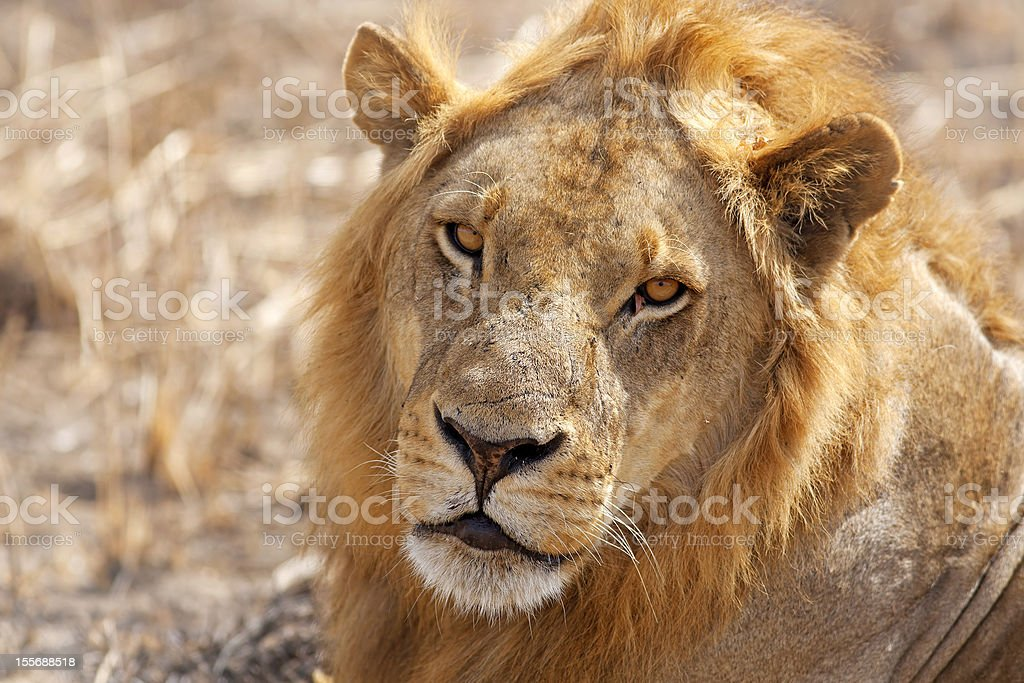 Wild lion royalty-free stock photo