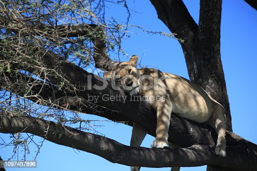 Wild lioness resting on a tree.