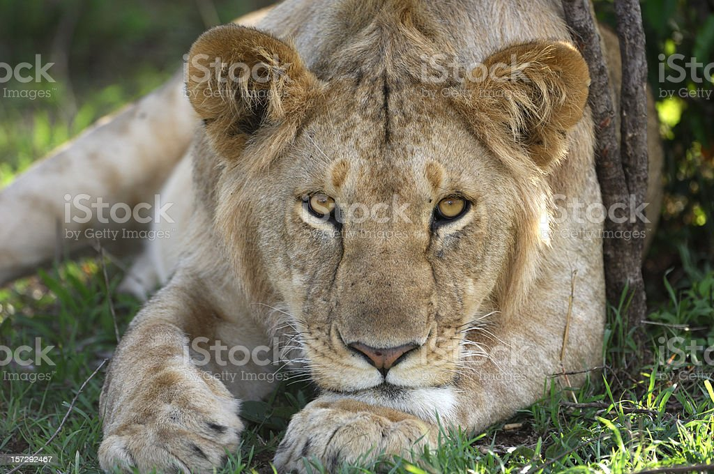 Wild Lioness Resting stock photo