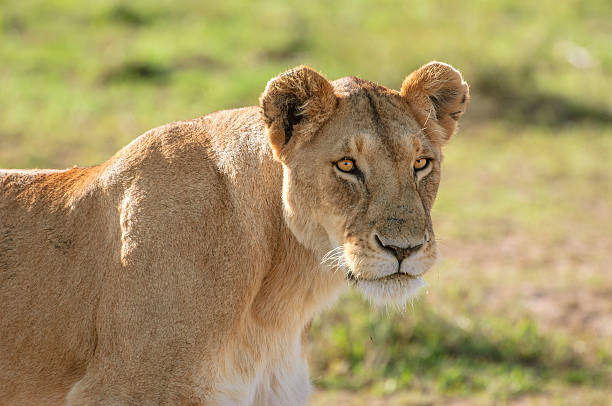 wild lioness walking on the african savannah - lioness stock photos and pictures