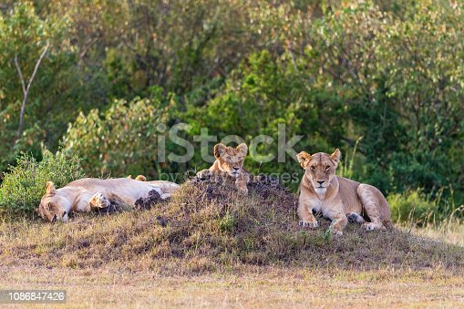Wild Lions with cub lying and scouts in the grass
