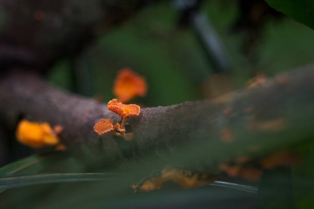 Wild Living Orange Poreconche Fungi stock photo
