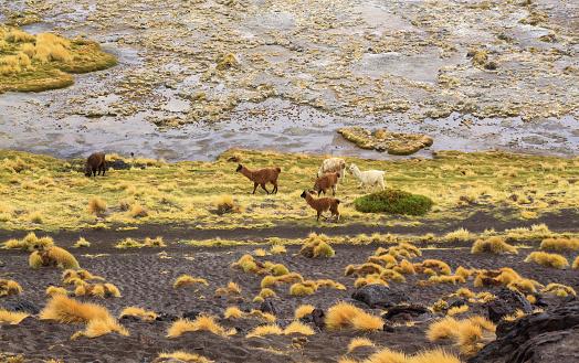 wild llamas in laguna colorada