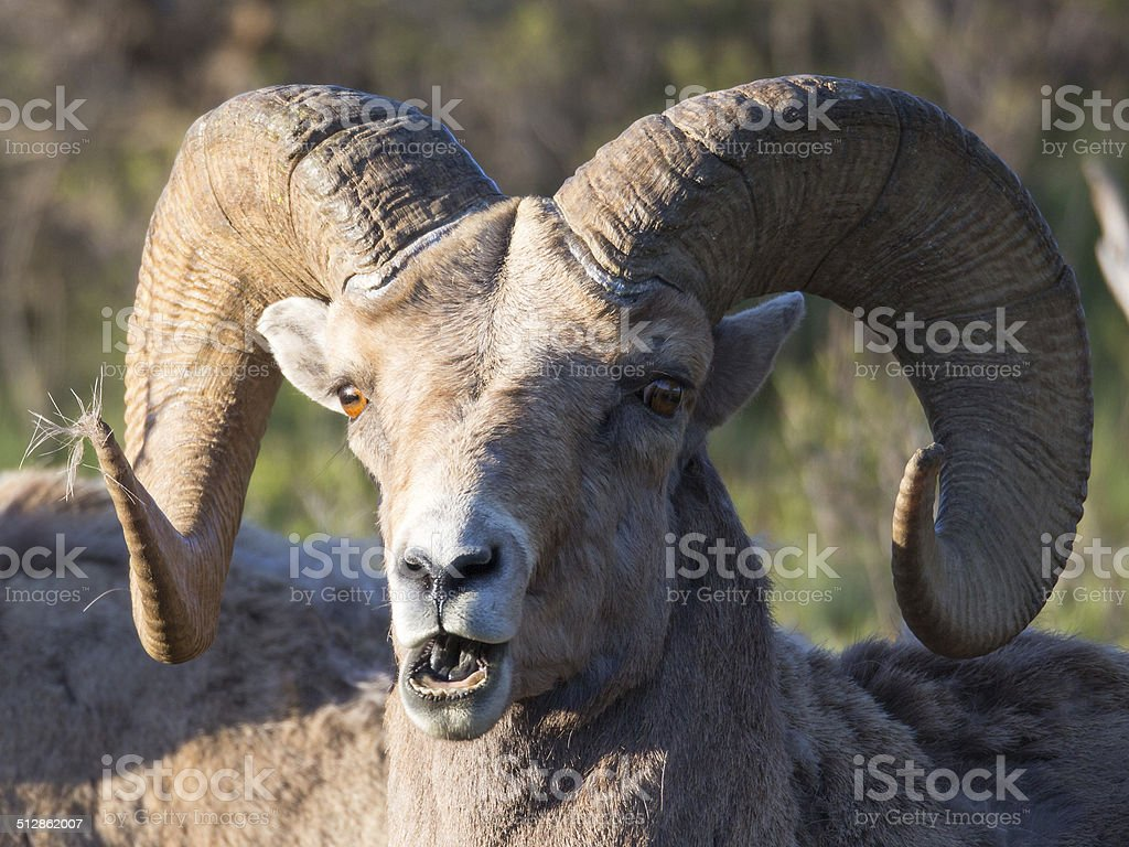 Wild Looking Bighorn Ram In Yellowstone National Park Stock Photo ...