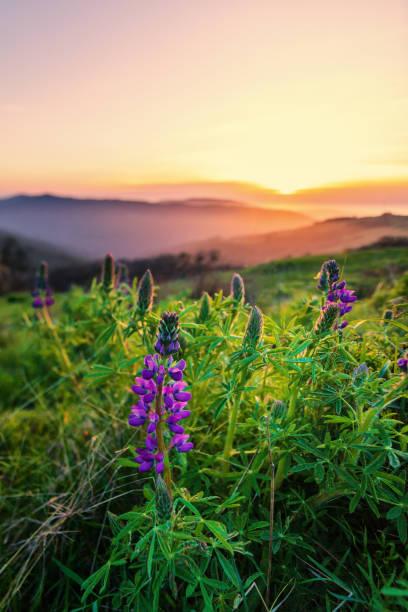 Wilde Lupinen Blumen bei Sonnenuntergang, Humboldt County, Kalifornien – Foto