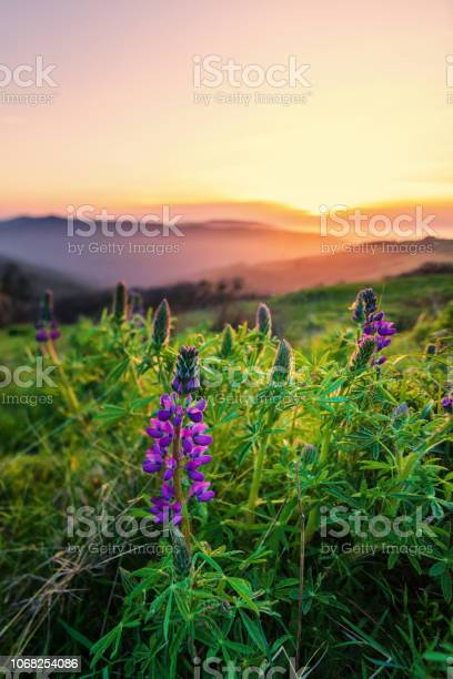 Photo of Wild Lupine Flowers at Sunset, Humboldt County, California
